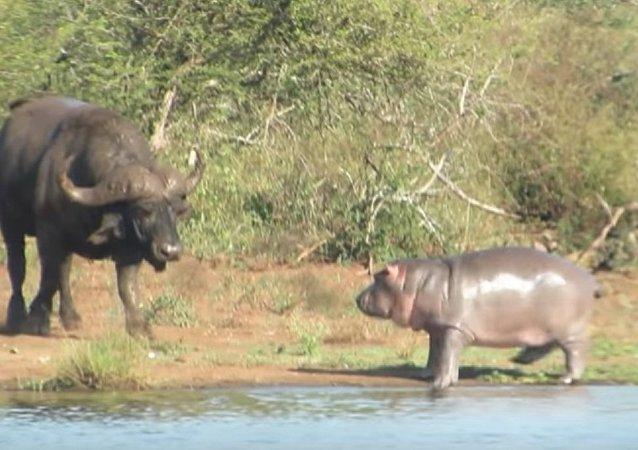 Ce bébé hippopotame courageux «attaque» un crocodile et un buffle