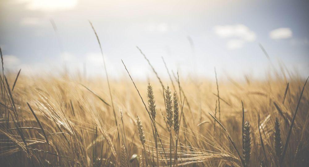 Des épis de blé