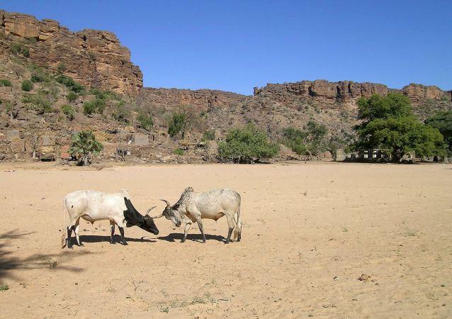Des taureaux de bergers Peuls, au Mali
