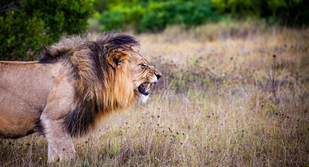 Un lion (image d'illustration)