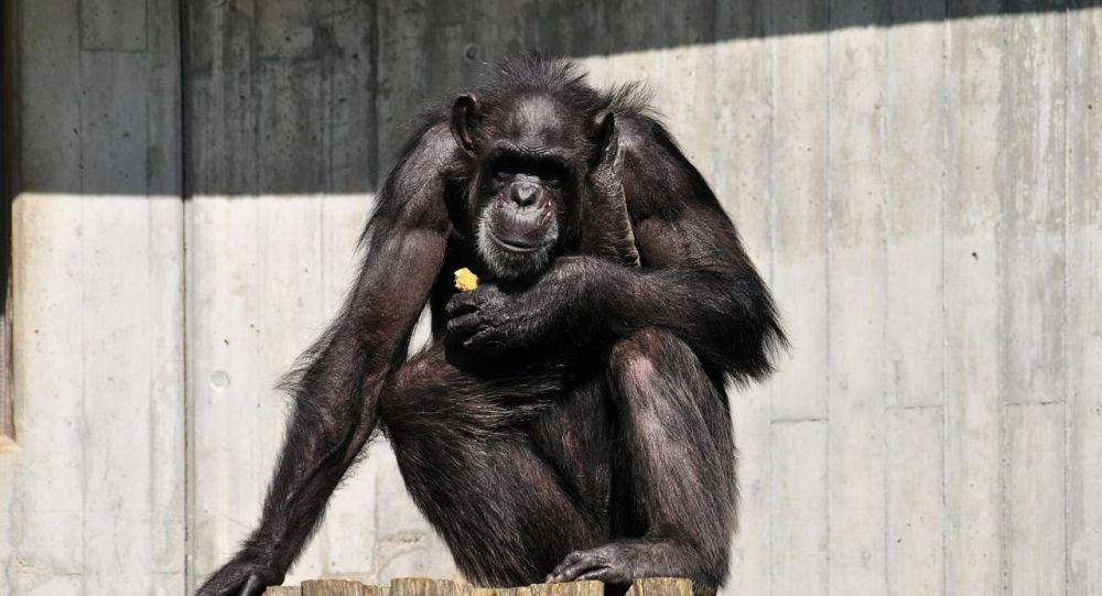 Chimpanzé, image d'illustration