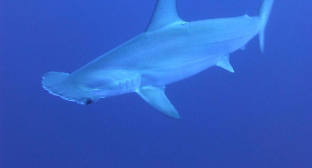 Un requin-marteau attaque un surfeur à deux reprises à Tahiti