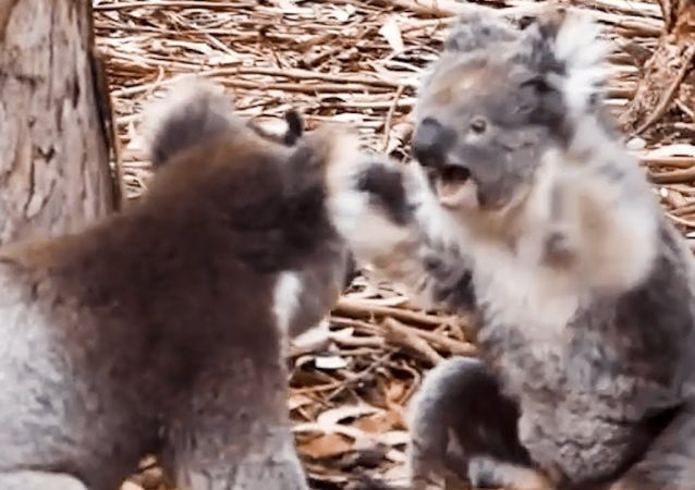 Insane moment two KOALAS get into a fight