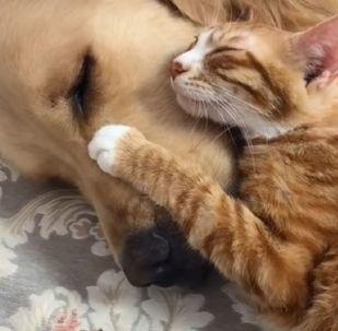 Ils sont inséparables: un golden retriever et un chaton vous feront croire au vrai amour