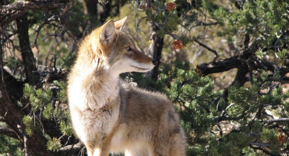 Un coyote (image d'illustration)