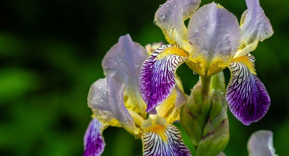 Iris versicolore