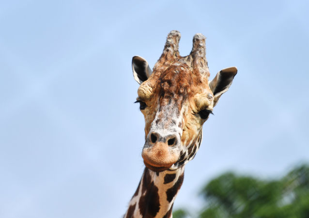 girafe, image d'illustration