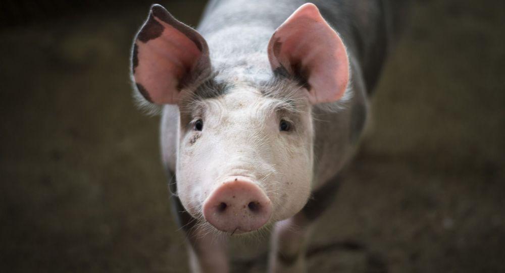 Un virus de grippe porcine capable de provoquer une nouvelle pandémie découvert en Chine