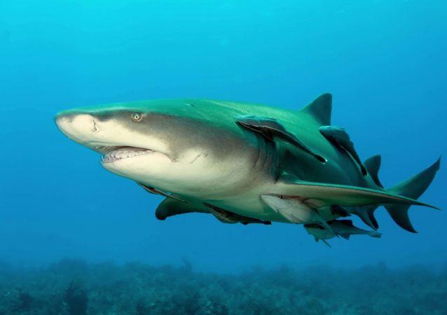 Un requin-citron (image d'illustration)