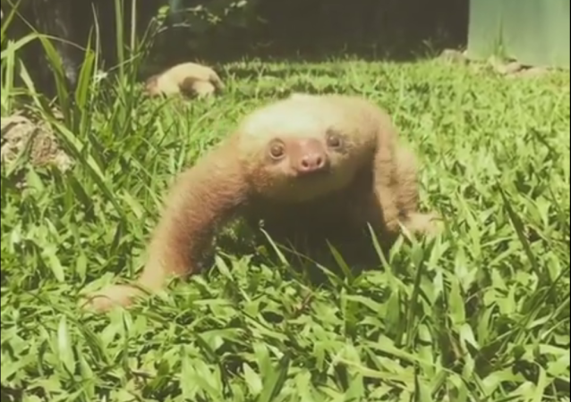 As always Jaco(baby sloth) loves to let the world know that he disapproves of climbing practice!