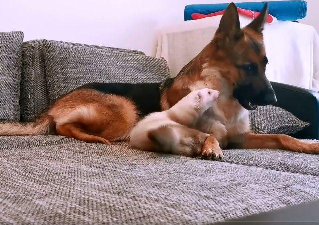L'amitié atypique entre un chien et un furet