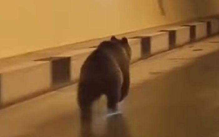 Quand on veut voyager en prenant un raccourci: un ours passe la frontière par un tunnel routier