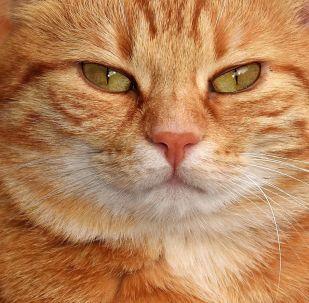 Un chat roux