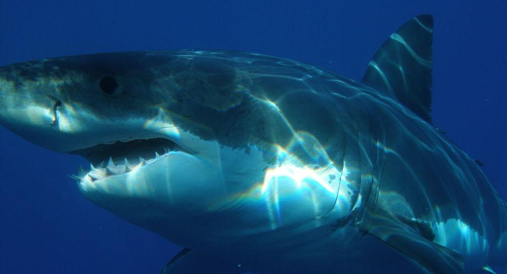 Grand requin blanc, image d'illustration