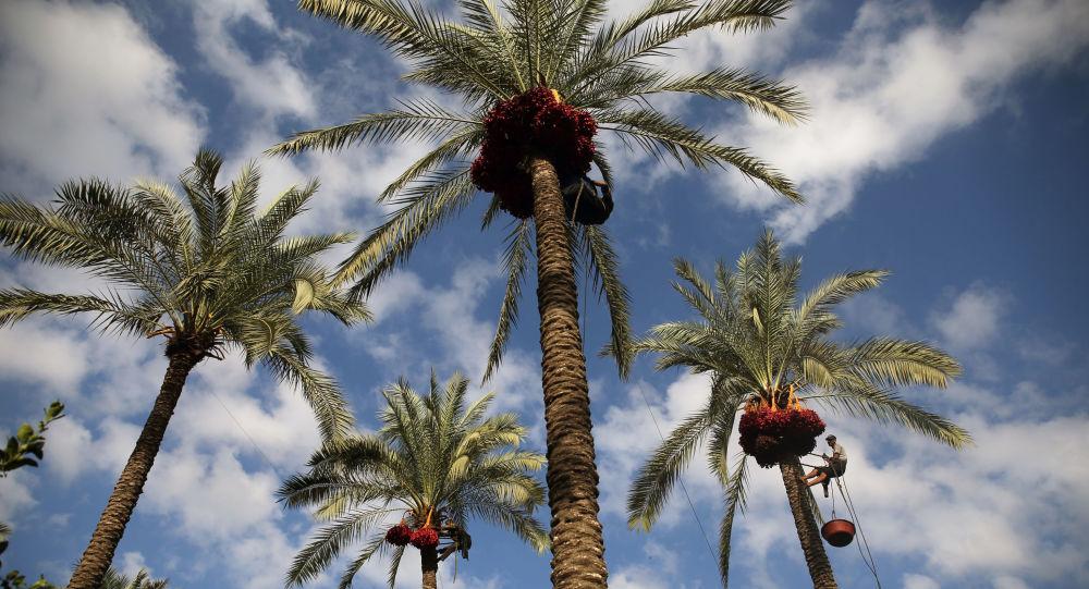 Le palmier dattier entre au patrimoine culturel de l'humanité