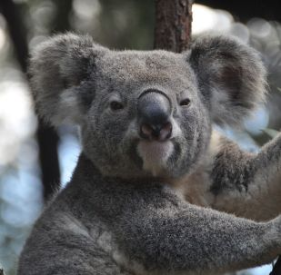 koala, image d'illustration