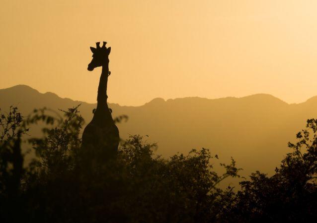 Une girafe