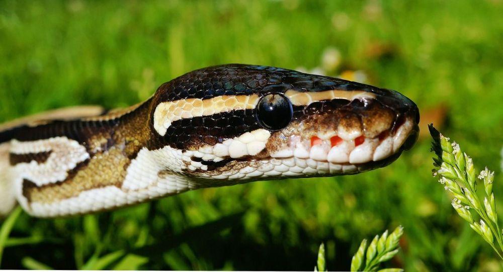 Python royal, photo d'illustration
