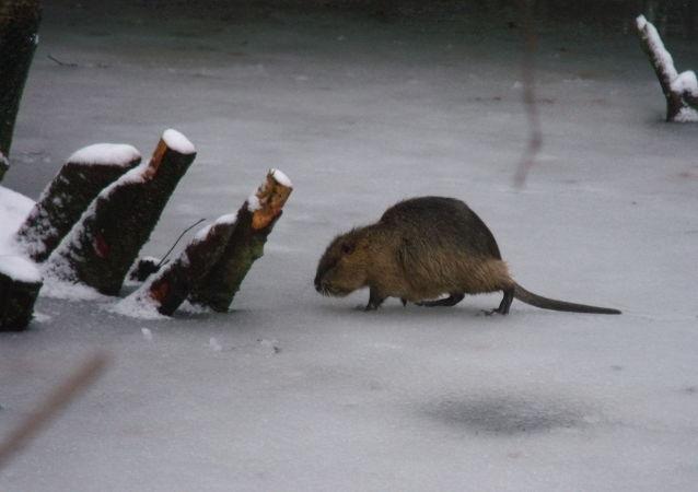 Un rat musqué (archive photo)