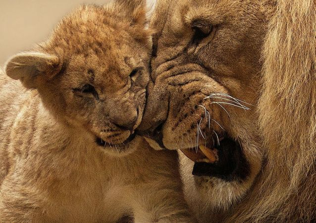 Lions, photo d'illustration