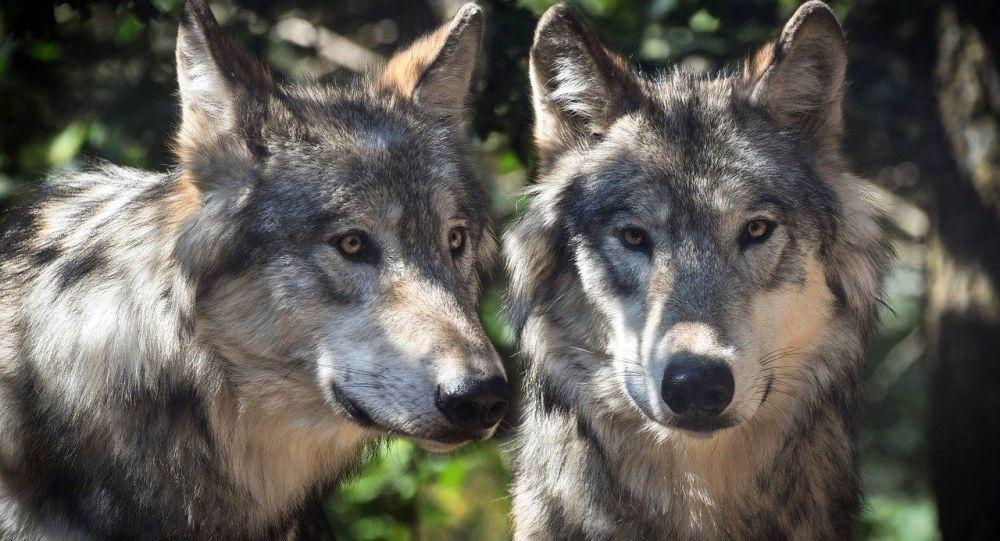 Une meute de loups dévore un chien et oblige un homme à grimper dans un arbre en centre-ville - vidéo choc