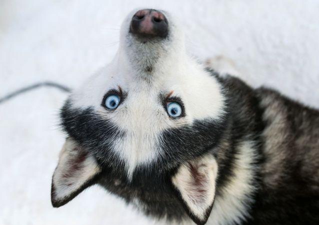 un husky