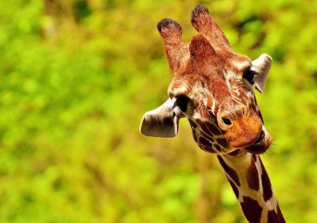 Un girafe