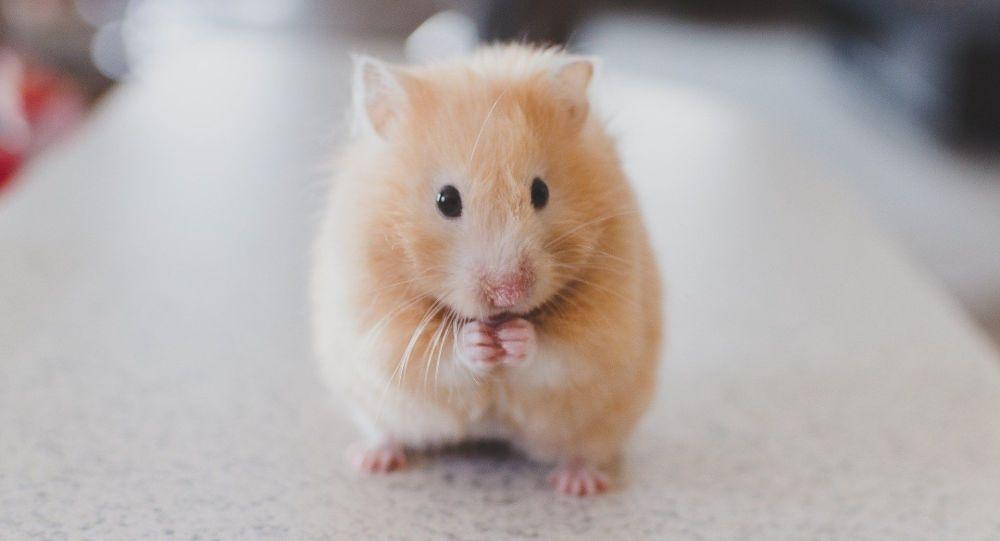 Des tests sur les hamsters prouvent l'efficacité des masques