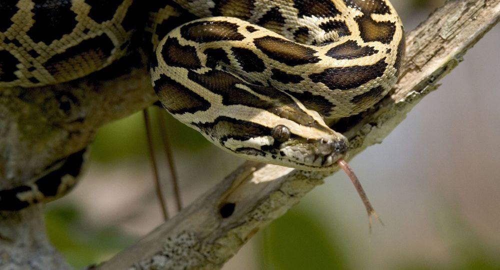 Fin de l'escapade pour le python échappé de son vivarium à Rennes