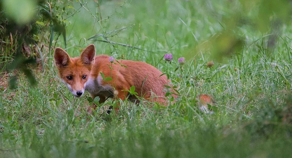 Hauts-de-France: des chasseurs filmés en train de tuer des renardeaux avec des pinces de fer - vidéo choc