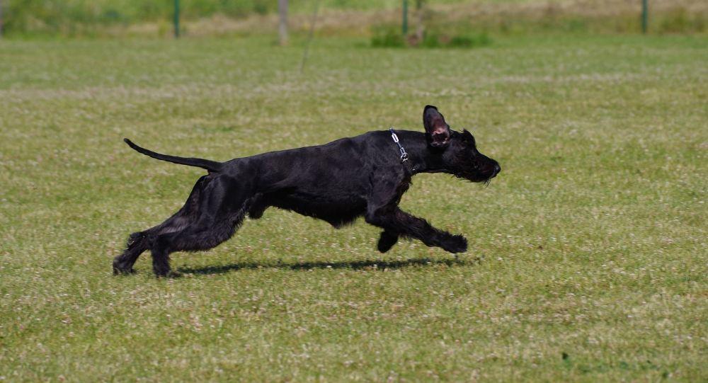 Un chien se fait ouvrir le ventre et survit après avoir avalé 26 balles de golf – images choc