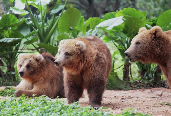 Медведи в ChimeLong Safari Park в Китае
