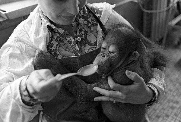 Сотрудница зоопарка кормит макаку