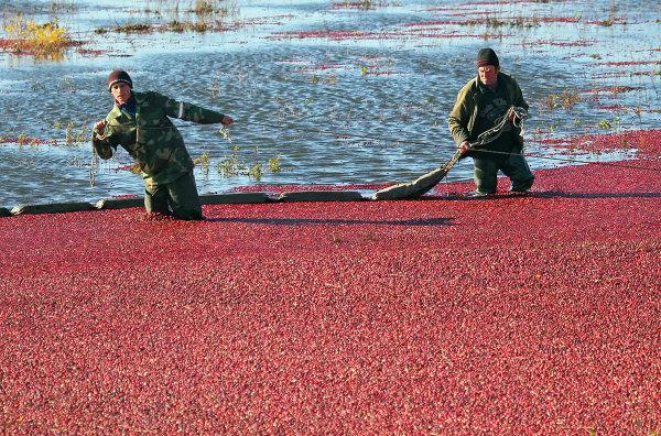 Уборка клюквы на предприятии Белорусские журавины